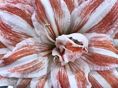 Stripes Are In (baccarati) Tags: tepals asparagales flowershow flowers amaryllidaceae closeup flower redandwhite stripes bulb hippeastrum amaryllis phs philadelphiaflowershow convention showcase philly tradeshow philadelphia pennsylvaniaconventioncenter pennsylvania