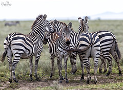 COMMON ZEBRA 2 (Nigel Bewley) Tags: commonzebra equusquagga tanzania africa wildlife nature wildlifephotography nigelbewley photologo appicoftheweek safari gamedrive maswagamereserve march march2019