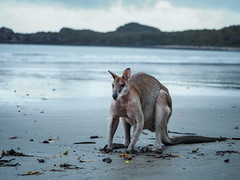 Wallaby feeding on the beach (Cositos :)) Tags: mackay cape hillsborough queensland australia cangaroo wallaby sunrise beach summer fauna wild animal fight reflection shore nature reserve canguro pelea playa amanecer olympus omd em10