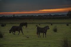 Camargue sunset (JLM62380) Tags: camargue sunset coucherdesoleil france nature cow saintesmariesdelamer taureau