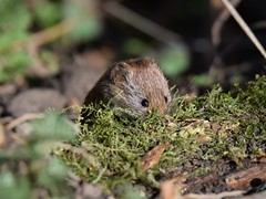 How Cute???? (doranstacey) Tags: nature wildlife animals rodents bankvole bank vole voles mammals cute ulley countrypark countryside tamron 150600mm nikon d5300