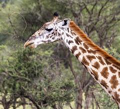 GIRAFFE 6 (Nigel Bewley) Tags: tanzania africa wildlife nature wildlifephotography nigelbewley photologo appicoftheweek giraffe giraffacamelopardalis march march2019 maswagamereserve safari gamedrive drinking waterhole