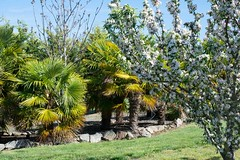 Garden Scott G6 palm sco_2577.jpg (st peters gardens armidale) Tags: 2018 malus plants australia gardenweekend toprint towngarden northerntablelands roseaceae urallashire eudicot fanpalm stpeters events places flowering arecales church nature areaceae magnoliophyta angiospermae monocot phanerogamae garden magnolopsida palm rosales nsw flora newengland gardenweekendflickr plantae sandoncl gardenview crabapple plant uralla liliopsida dicot