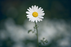 Daisy_3 (SadFo_x1) Tags: flower nature white green yellow blue art macro daisy blur bokeh spring shadow light outside flowers