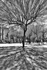 barcelona_35 (hipòlit_pascual) Tags: barcelona bw blackwhite blancoynegro byn bcn tree street lightshadow lightsshadows