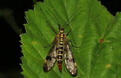 Scorpion Fly - Panorpa communis -Pulborough Brooks RSPB West Sussex (1) (Ann Collier Wildlife & General Photographer) Tags: scorpionfly panorpacommunis pulboroughbrooksrspb westsussex rspbreserves royalsocietyfortheprotectionofbirds macro insect insects britishwildlife britishinsects naturalhistory naturereserves nature