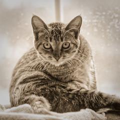 Bernie (joeldinda) Tags: olympus omdem1mkii em1 omd em1ii 2019 home mulliken potter blanket blankie interior window cat kitty gato chat bernie 4512 march