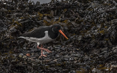 White Collar Worker (davidrhall1234) Tags: oystercatcherhaematopusostralegus oystercatcher oban bay scotland birdsofbritain beak bird birds coastal coast feather nature nikon outdoors shore shoreline sea wildlife world