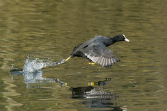 Catch me if you can! (sean4646) Tags: coot reddishvale nikon80400vred spring d7100