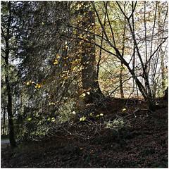 hoegne 55 (beauty of all things) Tags: belgien belgium hohesvenn sart hoëgne trees bäume herbst autumn quadratisch intothelight