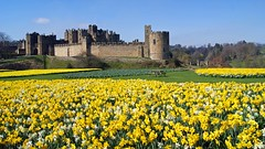 Alnwick Castle Daffodils (WISEBUYS21) Tags: alnwick castle daffodils narcissus blue sky wisebuys21 northumberland northumbria northeastofengland film location for harry potter blackadder transformers the last knight hotspur shakespeare flowers golden carpet sea percy duke duchess newcastleupontyne favourite garden henry iv landscape panorama park positive