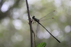 Dragonfly (christel.n) Tags: dragonfly insect macro closeup wings bugs bug tiny