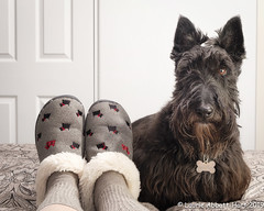 """20190408Me 'n My Scottie24332-Edit (Laurie2123) Tags: fujixt2 fujinon1855mm laurieturnerphotography laurietakespics laurie2123 maggie missmaggie odc odc2019 ourdailychallenge scottie scottishterrier blackscottishterrier blackdog home slippers """"offcamera flash"""