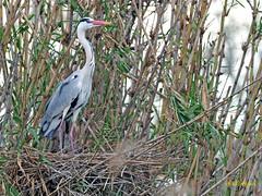 Garza real (Ardea cinerea) (11) (eb3alfmiguel) Tags: aves acuaticas ciconiiformes ardeidae garza real ardea cinerea