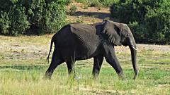 Botswana Elephant in Chobe National Park (h0n3yb33z) Tags: botswana animals wildlife chobenationalpark africa