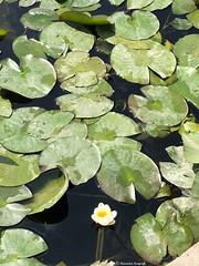 petit-nenuphar© (alexandrarougeron) Tags: photo alexandra rougeron flickr fleurs nature plante végétal végétale ville beauté couleur frais