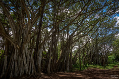 Banyan Tree (tcmealy) Tags: banyan tree hawaii oahu travel nikon d7200 tokina nature