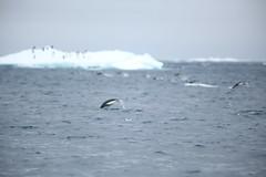 IMG_3815 (y.awanohara) Tags: adelie adeliepenguins penguins antarctica antarcticpeninsula wildlife january2019 icebergs ice icefloes