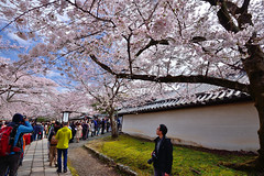 京都醍醐寺 Kyoto,Japan (Vincent_Ting) Tags: 櫻花 cherry cherrytree cherryblossoms 醍醐寺 京都醍醐寺 kyoto japan 世界文化遺產 文化遺產 temple japantemple sky bluesky sunny spring 春天 landscape 風景 賞櫻 旅遊名勝 touristdestination 日本關西 kansai 八重紅枝垂れ桜 染井吉野櫻 vincentting
