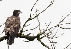 Perched sub-adult bald eagle. (jonathan.pratt14) Tags: baldeagle americanbaldeagle