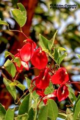 Ceibo (© hacfoto) Tags: naturaleza arbusto nacional flor