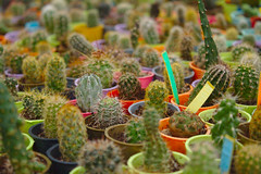Small Cactuses (jaccek) Tags: small cactus cactuses shop color colorful nature plant green