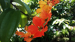 Bauhinia Coccinea / Akar Kalai (setiawanap) Tags: setiawanap setiawanapvlog indonesia tanaman tumbuhan daun bunga buah batang plants tree leaf flower fruit bauhinia coccinea