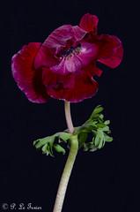 Anémone 12 (letexierpatrick) Tags: fleur fleurs flower flowers floraison anémone botanique old nature rouge colors couleurs couleur coeurdefleurs bouquet nikond7000 nikon europe france proxiphotographie plante