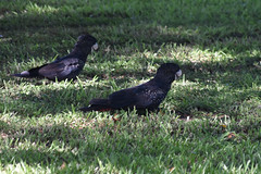 red tailed black cockatoo (22Lavender22) Tags: elements nature d3400 nikon wildlife australia