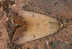 Unidentified moth (Jenny Thynne) Tags: moth brisbane queensland australia lepidoptera