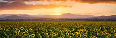 Sunflower Sunset (Muzfox) Tags: sunflowers panorama panoramic sunset ipswich queensland yellow orange wallart australia landscape olympus omd em5markii