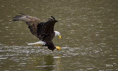 Bald Eagle (jt893x) Tags: 150600mm americanbaldeagle baldeagle bif bird d500 eagle haliaeetusleucocephalus jt893x nikon nikond500 raptor sigma sigma150600mmf563dgoshsms thesunshinegroup coth coth5 ngc alittlebeauty sunrays5 npc