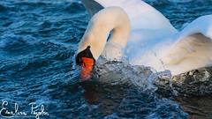 Cygnes Blancs (Emeline P) Tags: sonyalpha77 tamron150600mm bird oiseau wildlife wild animal nature naturelovers whiteswan water eau etangdeberre étang wildanimal cygne