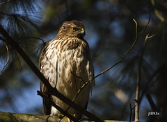 Hawk (jt893x) Tags: 150600mm accipter bird d500 hawk jt893x nikon nikond500 raptor sigma sigma150600mmf563dgoshsms coth alittlebeauty coth5 thesunshinegroup sunrays5