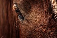 Cheval (Pyc Assaut) Tags: cheval canasson horse animus animal fullframe pleincadre oeil poils brun brown sourcils pyc5pycphotography pycpyc pycassaut pierreyvescugni pierreyvescugniphotography nikonz6 nikon z6