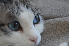 Yeux bleus Biki - Biki blue eyes (Sam Photos - Sony full frame) Tags: chat chats cat cats yeux eyes eyelash human soul blue biki animal de compagnie macro crop gato