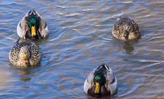 Canards colverts - Mallard ducks, Québec, Canada - 9670 (rivai56) Tags: 4 canards sur leau ducks water canardscolverts mallardducks québec canada 9670 mallard canard duck
