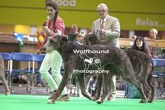 img_9877 (HoundPhotographer) Tags: irishwolfhound wolfhound hound crufts crufts2019 showdog dogshow