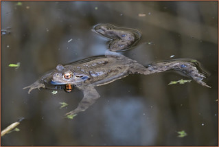 Common Toad (image 4 of 4)
