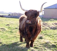 Windswept Highlander (mootzie) Tags: breezy windswept highland cow hairy ginger horns scottish scotland lewis ness nature wildlife