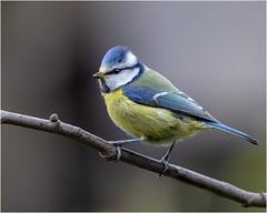 Blue tit... (Linton Snapper) Tags: cyanistescaeruleus bluetit bird gardenbird canon cambridgeshire lintonsnapper tonysmith
