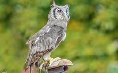 Owl - 6598 (ΨᗩSᗰIᘉᗴ HᗴᘉS +50 000 000 thx) Tags: owl bird nature oiseau pairidaiza green belgium europa aaa namuroise look photo friends be yasminehens interest eu fr party greatphotographers lanamuroise flickering sliderssunday hss