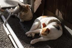 猫 (fumi*23) Tags: ilce7rm3 sony street cosina nokton voigtlander voigtländernokton58mmf14slⅱ 58mm a7r3 animal alley katze gato cat chat neko fmount ねこ 猫 ソニー コシナ ノクトン フォクトレンダー 路地