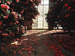 camellia house in bloom (Johnson Cameraface) Tags: 2019 march spring olympus omde1 em1 micro43 mzuiko 1240mm f28 johnsoncameraface yorkshiresculpturepark ysp yorkshire camelliahouse flower camellia