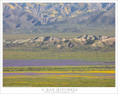 Spring Bloom, Temblor Range (G Dan Mitchell) Tags: temblor hills carrizo plain nationalmonument spring wildflowers yellow purple green carpet landscape nature california usa north america flowers bloom range mountains rift