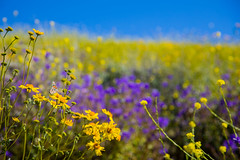 Wildflowers2019-1 (photosbyearl) Tags: nature flower orange yellow poppies summer plant meadow outdoors springtime closeup daisy beautyinnature greencolor field petal blossom nopeople macro growth flowerhead ruralscene everypixel