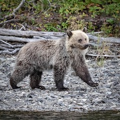 Watchful (gecko47) Tags: animal mammal bear cub firstyear blonde riverbank chilkoriver cariboochilcotin britishcolumbia grizzlybear ursusarctos northamericanbrownbear watchful wary outdoors woods