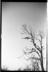 1930LeicaSummar_TMAX100_TreeBirds_492 (Johnny Martyr) Tags: tree nature vulture bird branch branches sticks vultures birds preditors sky bw blackandwhite 35mm epsonv500 leica leitz 1930 leicasummar leitzsummar summar5cm summar50mm desolate sad sadness preditory creatures silhouette dark vignette grain kodak tmax 50mm 5cm screw mount ltm barnack rangefinder