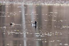 fanniestebbins2019-36 (gtxjimmy) Tags: nikond7500 nikon d7500 tamron 150600mm spring massachusetts newengland birds bird longmeadow fanniestebbinswildlifesanctuary duck ringneckedduck