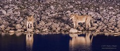 Nightime Lionesses (Stephen J Stephen) Tags: africa africanwildlife drinking etoshanationalpark lioness mammal namibia namibiaphotoadventuretour2015 natural okaukuejocamo okaukuejolodge okaukuejolodgewaterhole waterhole wildlife